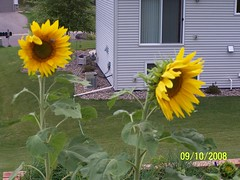 Sunflowers on the hill