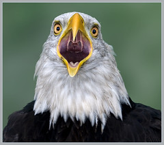 Bald eagle with attitude (hawkgenes) Tags: nature birds wildlife eagles birdsofprey baldeagles digitalcameraclub specanimal colorphotoaward vosplusbellesphotos thewonderfulworldofbirds