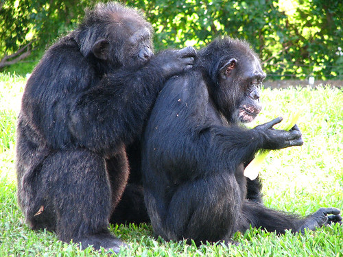 Chimpanzee Monkeys Grooming Each Other - Miami MetroZoo Pictures - Summer 2008 by paulmichaels79uf.