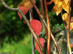 E' arrivato l'autunno con i suoi colori (CorradoMos @***) Tags: alps nature foglie natura piante autunno rosso alpi valledaosta composizioneartistica natureselegantshots gignod corradomostacchi