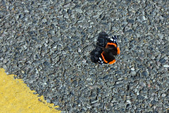 Red Admiral, Yellow Line (Adam Liversage) Tags: street butterfly october redadmiral canoneos450d efs1855mmisf3556