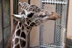 giraffeface.jpg