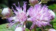 (Vernonia scorpioides) HIERBA DE SAN SIMN  ............. Original = (2826 x 1577) (turdusprosopis) Tags: vernonia compuestas floraargentina floramisionera plantasargentinas plantasdeargentina naturalezaargentna naturalezadeargentina naturalezadelaargentina floraautctonauruguaya floraautctonadeuruguay floraautctonadeluruguay plantasautctonasargentinas plantasautctonasdelaargentina floraautctonaargentina floraautctonadeargentina plantasnativasargentinas plantasnativasdeargentina plantasnativasdelaargentina florauruguaya floradeldelta floradelaargentina floradeargentina floranativadeuruguay floranativadeluruguay plantasautctonasdeargentina floraautctonadelaargentina floradelparaguay floraparaguaya vernonias floranativadoriograndedosul floranativabrasileira floranativadobrasil floradobrasil floradebolivia argentineflowers indigenousflowersofargentine argentineplants argentineindigenousplants floweringclimbers floweringclimbersofargentine enredaderasargentinas enredaderasdeargentina enredaderasdelaargentina enredaderasnativasdelaargentina enredaderasnativasargentinas enredaderasnativasdeargentina floradecorrientes floraboliviana indigenousplantsofargentine argentineindigenousflowers indigenousfloraofargentine floraofargentine argentineflora indigenousclimbersofargentine enredaderasautctonasdelaargentina enredaderasautctonasdeargentina enredaderasautctonasargentinas vicentelpeznaturereserve vicentelpezreserve reservadevicentelpez reservanaturalvicentelpez reservanaturaldevicentelpez reservavicentelpez vernoniascorpioides hierbadesansimn