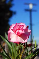 Pink Flower (dogwelder) Tags: california plant october pinkflower zurbulon6 2008 telephonepole northridge zurbulon gatturphy balboagiftedmagnet
