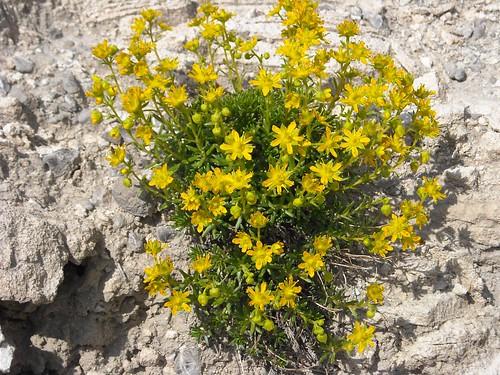 Yellow Saxifrage (Saxifraga oppositifloria)