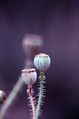 One of these dreams. One of these lost and lonely dreams ({ Amy }) Tags: plant flower nature lyrics purple quote seed seedhead poppy pps hpps perfectpurplesaturday