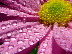 Rugiada del mattino (_annalaura_) Tags: morning pink flowers flower dewdrops drops rosa dew fiore rugiada crisantemo soe mattino goccia gocce potofgold iloveit naturesfinest blueribbonwinner ot