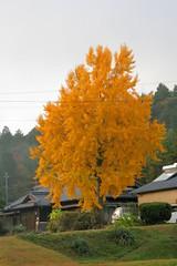 Ginko tree Japan (Steve-kun) Tags: autumn tree japan jp ginko flickrcom stephendraper anawesomeshot stevedraperpictures draperphotography stephendraperphotography  flickrjp flickrflickr jpcom