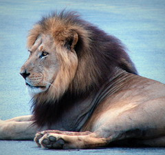 Lion King (Sandra Leidholdt) Tags: africa wild male nature animal southafrica addo african wildlife lion bigcat bigfive africanlion pantheraleo afriquedusud zuidafrika sandraleidholdt leidholdt sandyleidholdt