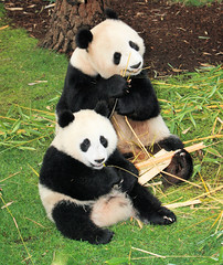 Little Zhen Zhen and Bai Yun eating together while enjoying the new sod (kjdrill) Tags: china california new usa baby animal giant mom zoo cub panda sandiego zhen yun sod pandas bai endangeredspecies 20081201422a eatingtogetheroffspringbearbears