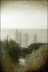 Agaves studio 3 (guiba6) Tags: trees sea italy texture alberi nikon italia mare atmosphere agave calabria oldmemories memoriesbook nikond3 nikkor2470