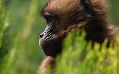 Gelada Monkey Profile (jtkerb) Tags: profile monkeyface gelada geladababoon theropithecusgelada guassa