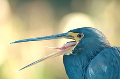 The Tongue (burt1barnett) Tags: bird heron nature birds tongue mouth wildlife wako wetland birdwatcher naturesfinest tricolorheron wakodahatchee specanimal specanimals mywinners mywinner impressedbeauty avianexcellence mykindofpicyuregallery