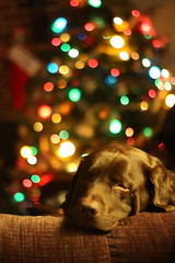 Bokeh Christmas Benny (gotbob) Tags: bear christmas sleeping dog tree colors canon lights lab pretty bokeh chocolate stocking slidr frednet
