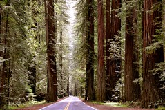avenue of the giants (rafael rybczynski) Tags: california statepark ca trees sun tree nature humboldt state magic absolutely giants tall redwood redwoods magical humboldtcounty breathtaking visualart avenueofthegiants coth kartpostal bej golddragon platinumphoto tallesttrees theunforgettablepictures overtheexcellence platinumheartaward thisisexcellent goldstaraward rafaelrybczynski breathtakinggoldaward ubej artofimages saariysqualitypictures absolutelyperrrfect sailsevenseas cportfolio
