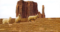 The Sheeps/Monument Valley (1coffeelady) Tags: indians sheeps animals mesa travel arizona new mexico utah navajo dine nativeamerican sheep navajosheep dinésheep dinénation dinénativeamerican dinéindians dinéchurrosheep dinéchurrowool livestock dinétraditions churrosheep monumentvalley
