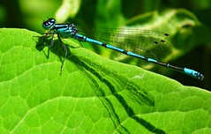 Damselfly 4 (richmusic2011) Tags: nature insect dragonfly wildlife dorset damselfly pondlife flyinginsect 2011 dpww