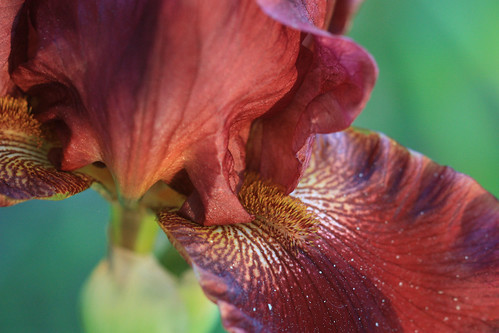 Macro Iris by kayaker1204