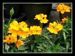 Crossandra infundibuliformis 'Lutea' (Yellow Crossandra)