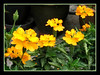 Crossandra infundibuliformis or C. undulifolia 'Lutea' (Firecracker Flower, Firecracker Plant, Yellow Crossandra)