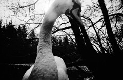 An abomination among the fowls? (richard314159) Tags: blackandwhite film 35mm swan toycamera lakedistrict photograph cumbria 135 viv vivitar ultrawideandslim bwfavourites