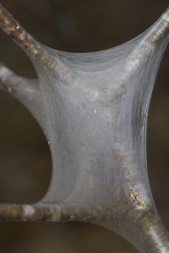 Eastern tent caterpillar (Malacosoma americanum) Web