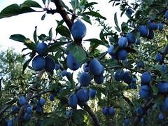 Prugne (Prunus domestica)
