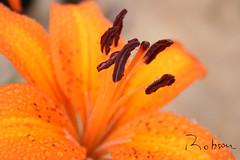 Lírio (Robson Borges) Tags: brazil brasil flor amarelo lírio beleza goiânia goiás goiania robsonborges
