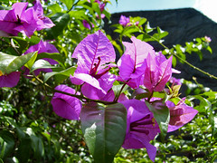 bougenville (arnistm) Tags: bougainvillea naturesfinest colorphotoaward