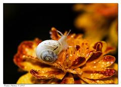First macro shot (Cristian Nuvolone) Tags: flowers macro nature yellow snail natura giallo fiori prima lumaca soe chiocciola tagete fpg abigfave anawesomeshot fiveflickrfavs rotrossorougerood ahqmacro expressofpro cristiannuvolone