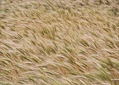 Amber Waves of Grain (hz536n/George Thomas) Tags: summer oklahoma flora wheat perkins 2008 cs3 canon30d canonef70200mmf4lusm
