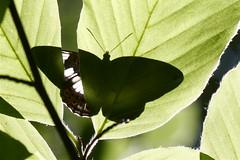 bby_hidden butterfly (bby_) Tags: light wallpaper macro green butterfly licht shaddow grn schatten schmetterling soligor100mm35macro