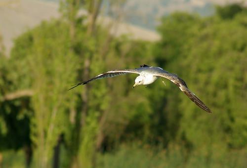 Bird In Flight with Tamron 70-300 Di LD Macro