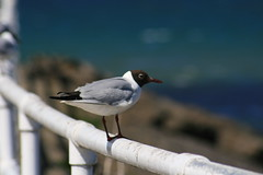 Bird on a Fence (Garibaldi McFlurry) Tags: sea bird beach birds neck flying wings head flight cruising creation shore northernireland flapping creatures tern ulster countyantrim irishsea larne