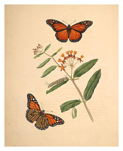 05-Illustration of Papilio Archippus. Asclepias Curassavica 6