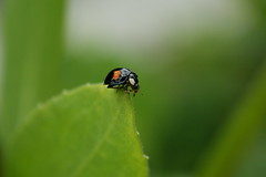 balance I (westpark) Tags: plant green leaf pflanze ladybird ladybug balance grn blatt insekt ladybeetle dortmund balancing kfer marienkfer ontheedge coccinellidae adaliabipunctata zweipunkt twospottedladybeetle zweipunktmarienkfer