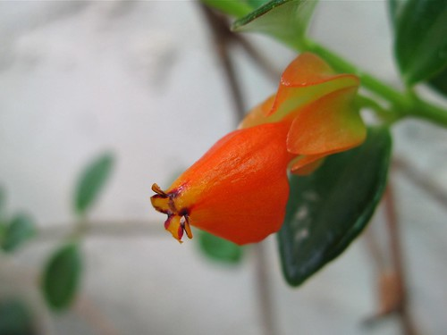 goldfish plant. Goldfish Plant Flower