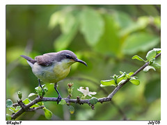 Purple Rumped Sunbird - Female (RaghuP) Tags: bird female canon purple hyderabad sunbird raghu 70200f4l rumped hcu purplerumped 400d hyderabadcentraluniversity avianexcellence