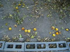 Fallen Fruit (Zach Behrens) Tags: fruit lemon ground dirt fallen cinderblock ornage treeshermanoakslosangelessfvsanfernandovalley