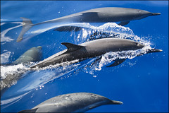 Dauphin (Spirit photos) Tags: ocean blue sea mer dolphin martinique awesome dauphin picnik westindies grandbleu anawesomeshot