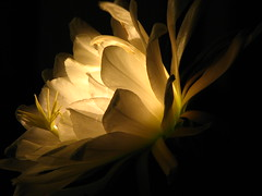 Glowing cactus flower with candle inside (Boonlong1) Tags: cactus flower night soft candle nightshot surreal flame candlelight delicate softlight cactusflower enchanting nightflower eliteimages bestcaptureaoi