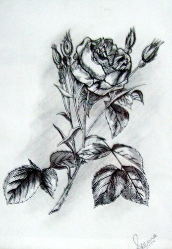 black & white rose by seema22