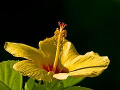 Hibiscus con fondo negro (idhil77) Tags: naturaleza flores flower fleur yellow olympus amarillo hibiscus uro idhil77 zd70300mm floraidhil77