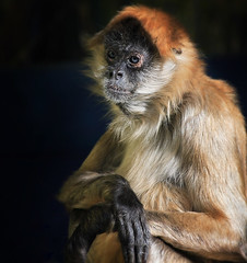 Monkey - Taronga Zoo, Sydney (Tanya Puntti (SLR Photography Guide)) Tags: animal zoo monkey tarongazoo sydneyzoo canoneos5d canonef70300mmf456isusm