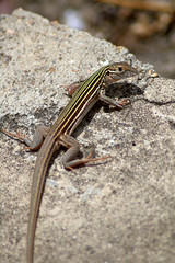 (?species) Lizard, Luling, TX