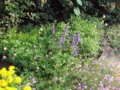evening primrose spreading through garden
