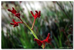 Frozen Flames (What My Eyes C) Tags: nature beauty colours nsw kangaroopaws pictureaustralia impressedbeauty wollongongbotanicalgarden