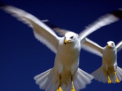 Gulls - Image Flickr.com Bob Katayama