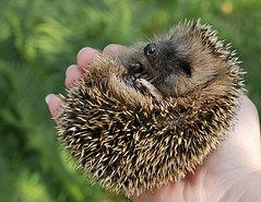 baby hedgehog (latarnia_morska) Tags: baby cute animal garden spiky little hedgehog wander