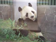 KouKou (TaoTaoPanda) Tags: panda koukou ojizoo